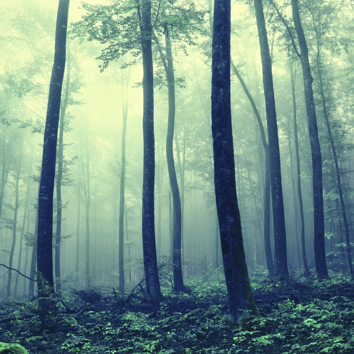 Foggy spooky forest